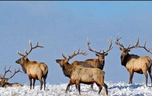 Winter-Elk