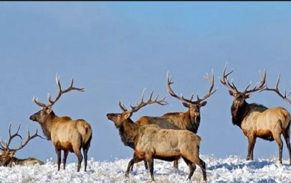 Winter-Elk